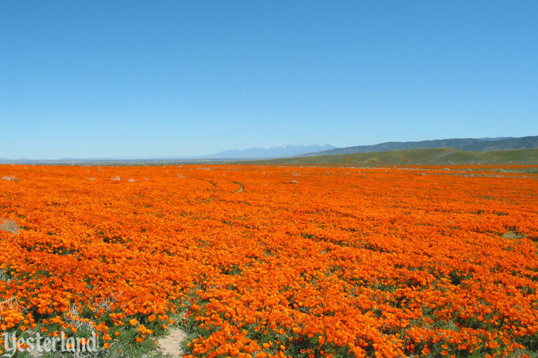 California Poppies in the Antelope Valley California Poppy Reserve