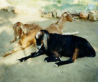Photo of Big Thunder Ranch animals